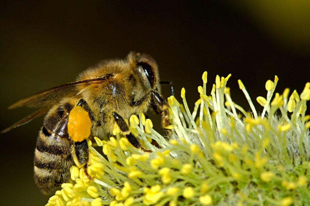 Ohne Bienen geht es Menschen, Natur, Umwelt und Tieren schlecht. Bienen bedürfen des Schutzes